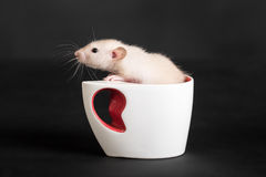 Rat in a white cup. Small domestic rat in a white cup Royalty Free Stock Images