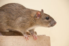 Rat. Wild rat sitting on the book Royalty Free Stock Photos