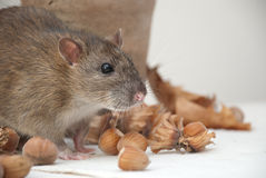 Rat. Wild rat, vase and hazelnut Royalty Free Stock Photography