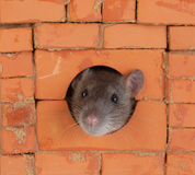 Rat in a window Royalty Free Stock Photo