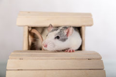 Rat in a wooden house Royalty Free Stock Photos