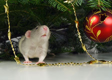 Rat and xmas ornaments Royalty Free Stock Photo