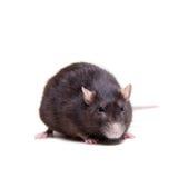 Rat, 3 year old on white Royalty Free Stock Image