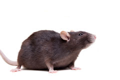 Rat, 3 year old on white Royalty Free Stock Photos