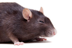 Rat, 3 year old on white Royalty Free Stock Photography