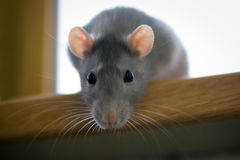 Rat2 Stock Image