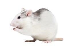 Rata Imagenes de archivo