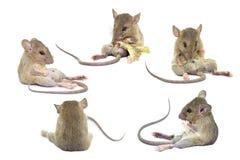 Rata animal aislada en el fondo blanco, la colección del ratón de rata imagen de archivo