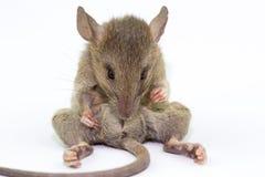 Rata animal del ratón que come el scrapsbin de la comida aislado en el fondo blanco fotografía de archivo