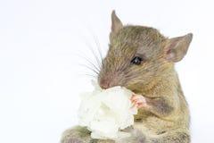 Rata animal del ratón que come el scrapsbin de la comida aislado en el fondo blanco fotos de archivo