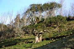 Rata-Baum nah an Homunga-Bucht stockfoto