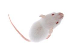 Rata blanca Imagen de archivo