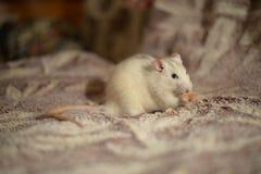 Rata blanca Foto de archivo