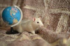 Rata blanca Imagenes de archivo