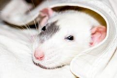 Rata blanca debajo de la manta Fotografía de archivo libre de regalías