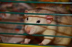 Rata blanca del animal doméstico Imagenes de archivo