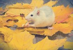 Rata blanca del animal doméstico Imagen de archivo
