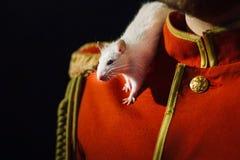 Rata blanca del laboratorio en el hombro Imágenes de archivo libres de regalías