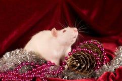 Rata blanca en fondo rojo del terciopelo con la decoración Fotos de archivo