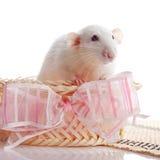 Rata blanca en una cesta con un arco rosado Imagenes de archivo