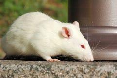 Rata blanca que huele algo en la tierra imagen de archivo