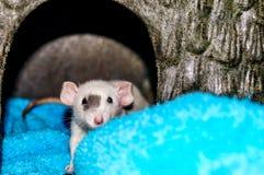 Rata blanca que mira la cámara Imágenes de archivo libres de regalías