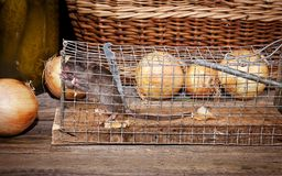 Rata cogida en una trampa Fotografía de archivo