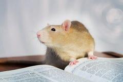 Rata con el libro Imagen de archivo libre de regalías