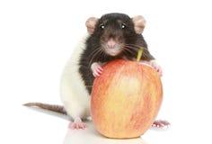 Rata con una manzana grande Foto de archivo libre de regalías