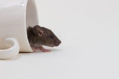 Rata de Brattleboro, rata del laboratorio Foto de archivo libre de regalías