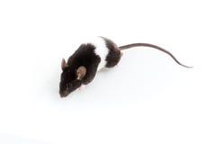 Rata de Brattleboro, rata del laboratorio Fotos de archivo libres de regalías