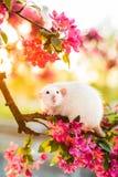 Rata de lujo hermosa que se sienta en flor de la manzana color de rosa foto de archivo libre de regalías