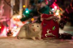 Rata decorativa en un fondo de las decoraciones de la Navidad Imagen de archivo libre de regalías