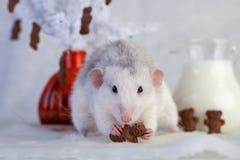 Rata decorativa que come las galletas de microprocesador de chocolate Imagen de archivo libre de regalías