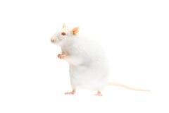 Rata del albino Imagen de archivo