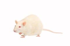 Rata del albino Fotos de archivo