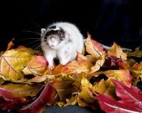 Rata del animal doméstico Imagen de archivo