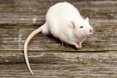rata del animal doméstico Foto de archivo libre de regalías
