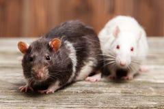 rata del animal doméstico Fotografía de archivo libre de regalías