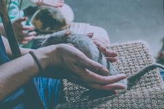 rata del animal doméstico Fotografía de archivo