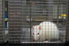 Rata del laboratorio del albino (norvegicus del rattus) atrapada en jaula Imágenes de archivo libres de regalías