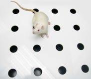 Rata del laboratorio del albino que mira en tarjeta del agujero Fotografía de archivo
