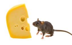 Rata divertida y queso aislados en blanco Imagenes de archivo