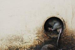 Rata en agujero en el templo de la rata en la India Imagen de archivo libre de regalías