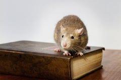 Rata en el libro Imagenes de archivo