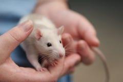 Rata en la mano Fotografía de archivo
