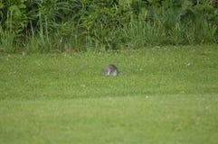 rata en la naturaleza, parque de la ciudad Foto de archivo