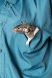 Rata en un bolsillo Fotos de archivo
