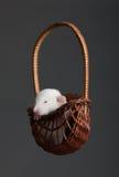 Rata en una cesta de madera Fotos de archivo