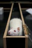 Rata en una esquina de un laberinto durante el experimento fotos de archivo libres de regalías